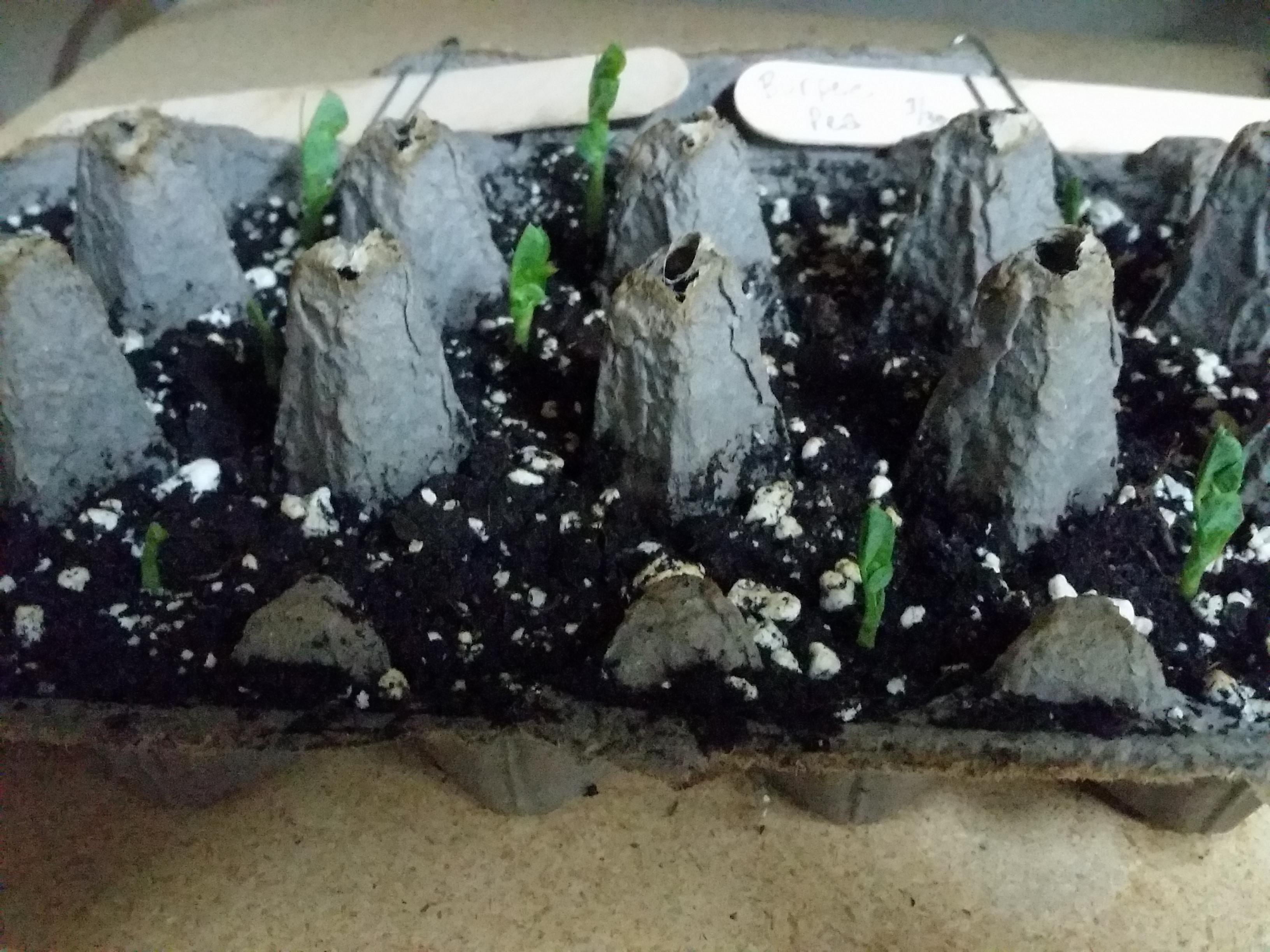 Starting Pea Seeds