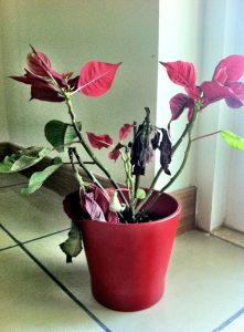 dying-poinsettia-plant