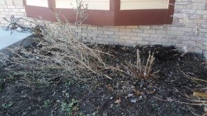 cut-butterfly-bush1