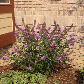blooming-butterfly-bush