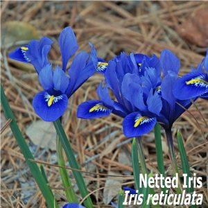 Netted Iris