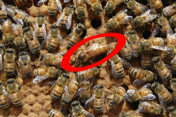 Queen Bee Circled