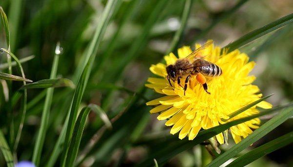 Bee on Dandelion