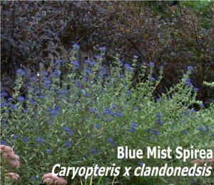Blue Mist Spirea