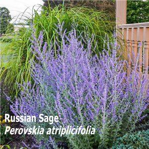 Russian Sage
