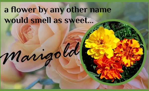 Whats-in-a-name-Marigolds