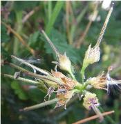 Geranium seed-head