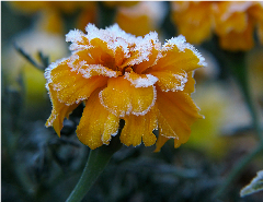 Frosted Marigold